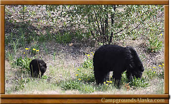 Alaska black bears are plentiful and dangerous anamals best kept at a distance.