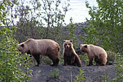 Alphabetical list of Campgrounds in Alaska. Bear photo by Mike Jameson of Kenai Alaska.
