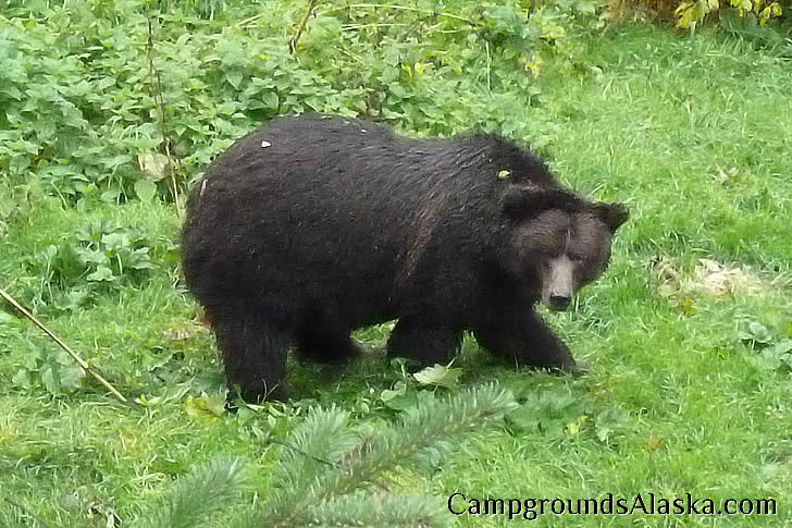 Hyder, Alaska Bear Viewing at Fish Creek.